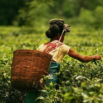 This Is The Agonising State Of Tea Garden Workers Of Assam